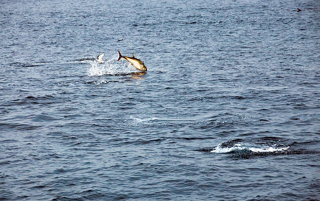 Cantabric Sea, Gulf of Biscay. Spain. Bluefin Tuna jumping and feeding on the surface