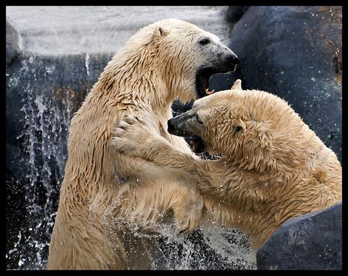 polar_bears_v2