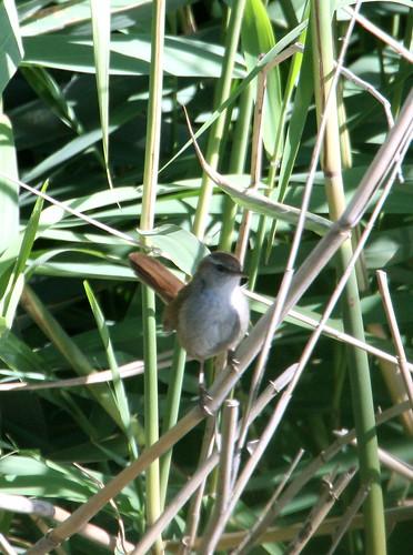 Cetti's Warbler (Cettia cetti)