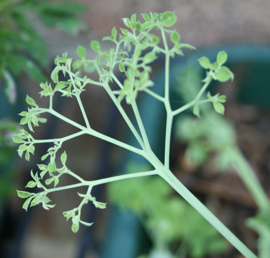 The Unusual Parsley Pea