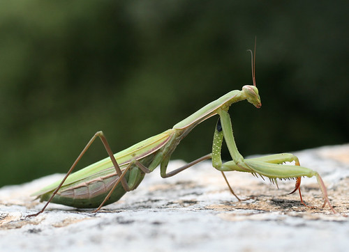 Corfu, Kerkyra: Mantis Religiosa, Praying Mantis, close encounter (1)
