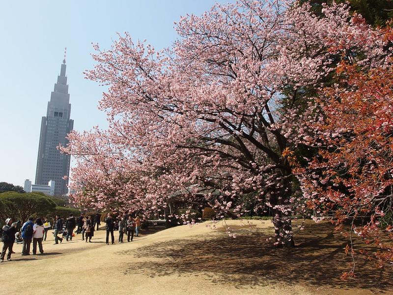 Cherry tree in bloom @ Shinjuku Gyoen National Garden