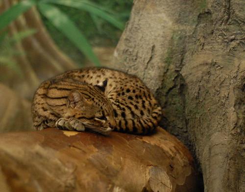 Dozing Geoffroy's Cat