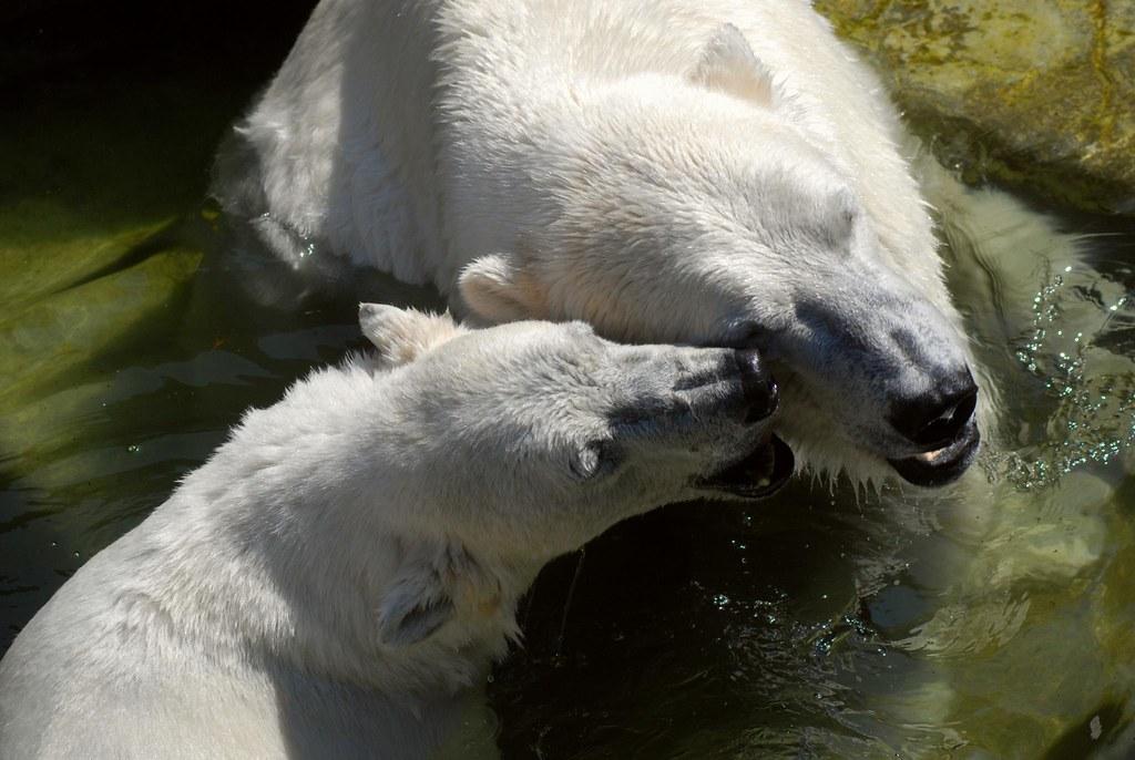 Eisbären Boris und Noel in Kopenhagen