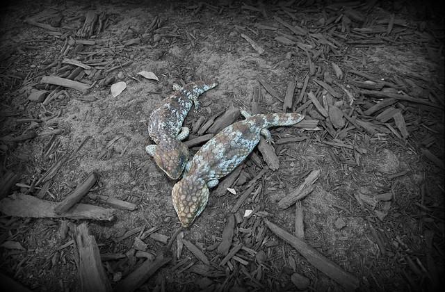 2 Bobtail Lizards