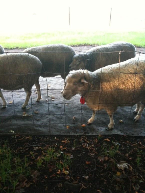 羊が丘の羊たち