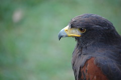Close Up of Harris Hawk