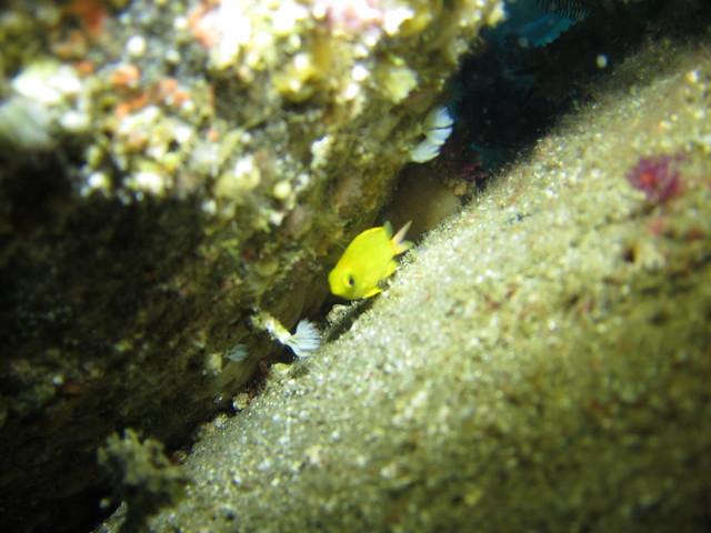 黄色いお魚