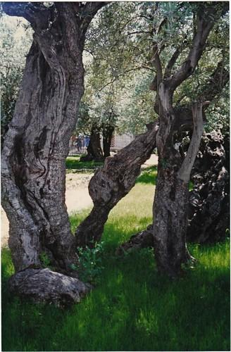 Gethsemane, by seetheholyland.net