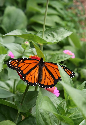 Monarch Butterfly in garden. Photo copyright Jen Baker/Liberty Images; all rights reserved.