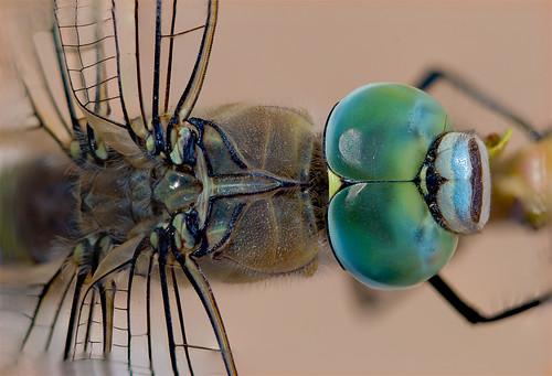 dragondfly headshot