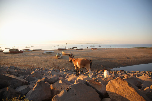 Goats scavenge a beach at Maputo, Mozambique
