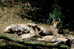 Cheetah Boys Hangin' Out