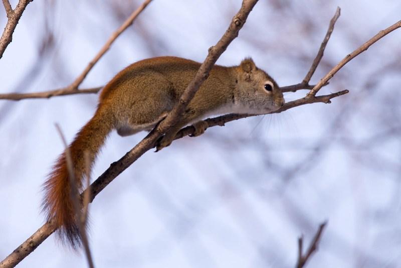 _DSC6410 Red Squirrel
