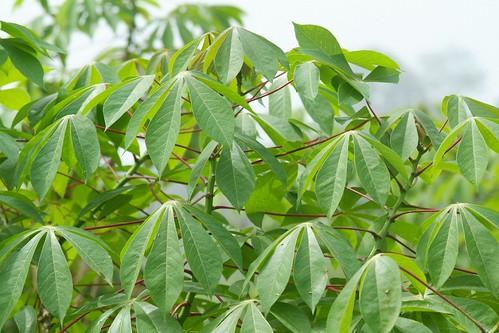 Healthy cassava plants
