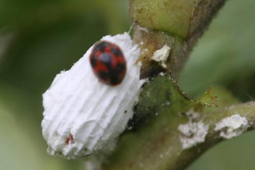 Vedalia Ladybug
