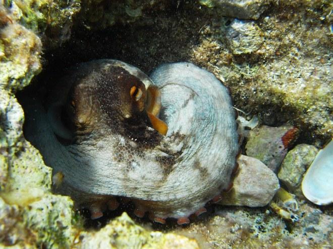 Oktopus in Kroatien