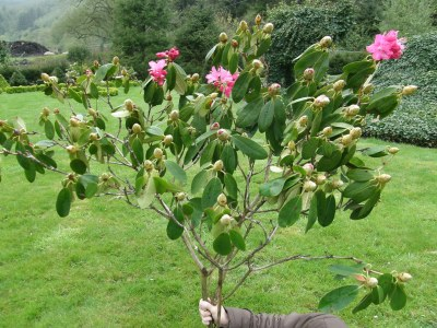 pink rhododendroms