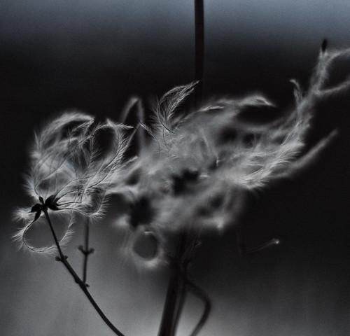 Ghost Flower by Henrik Thorn