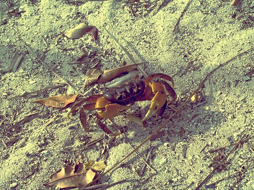 Crab at Governor's Island, Alaminos, Pangasinan