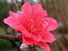 ROSACEAE 薔薇科 - Peach Flowers (Prunus persica) 桃