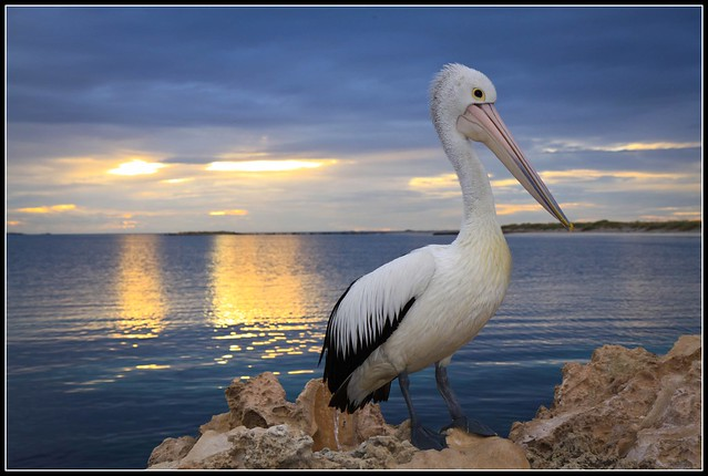 Pelican at Woodmans Point W.A