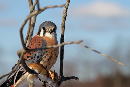 American Kestrel with mouse