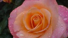 20090613_4 rOSE AND RAIN DROPS #12