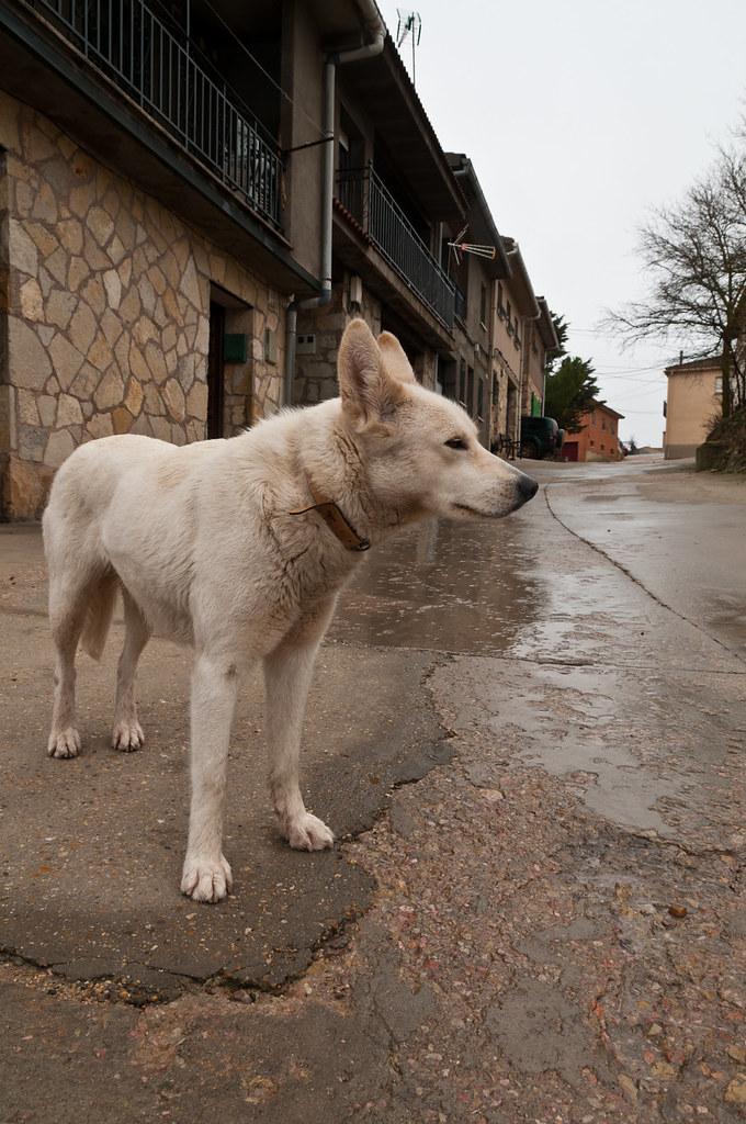 Perro en Atienza