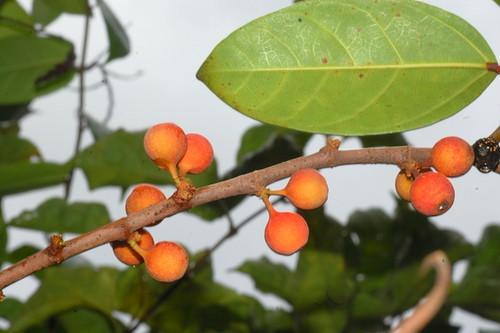 Ficus pantoniana DSC_0140