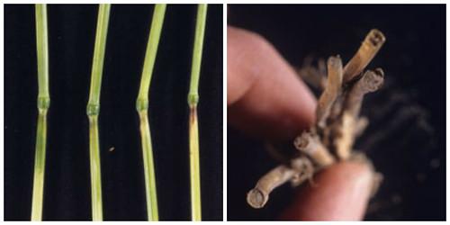 Sawfly damage