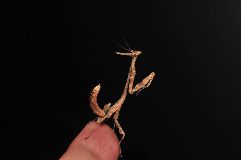 Phyllothelys werneri