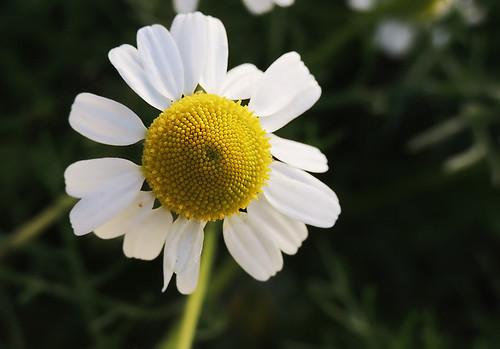flores macro com Raynox recorte 50
