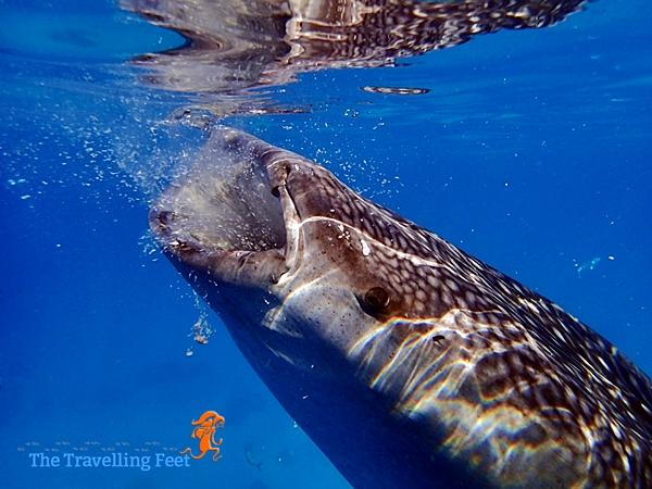 whale shark having breakfast