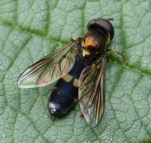Platycheirus rosarum Tophill Low NR, East Yorkshire August 2013