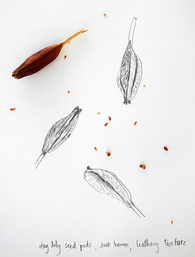 sketch of 'Day Lily' seed pods