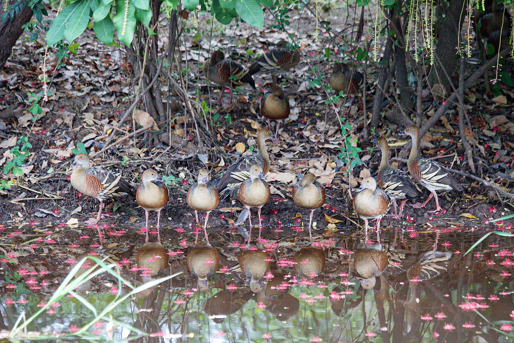 Plumed Whistling-Ducks.