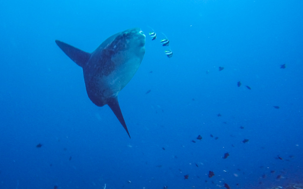 Ocean Sunfish, Bali, Indonesia, Scuba Diving