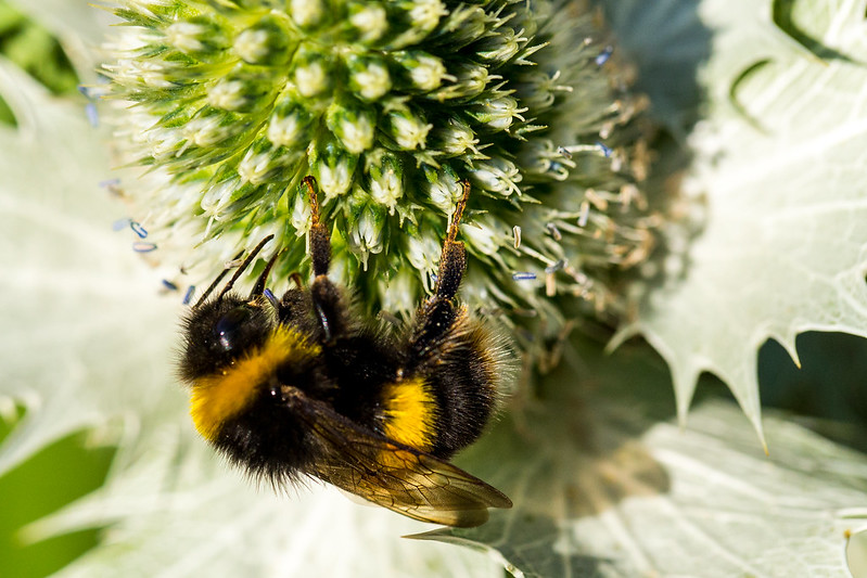 White Tailed Bee on Sea Holly