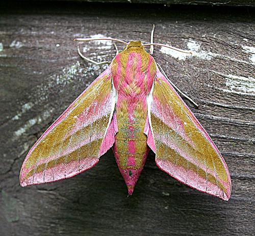 Elephant Hawk-moth Deilephila elpenor Tophill Low NR, East Yorkshire June 2013