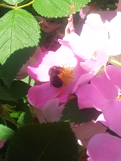 Bee on Prairie Rose