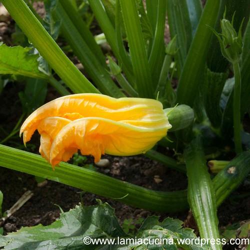 Zucchiniblüte 2013 08 03_1253