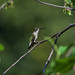 Hummingbird Perched in the Garden_DSC3001