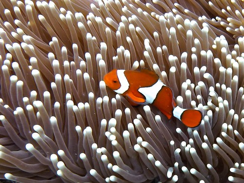 Just another Clownfish