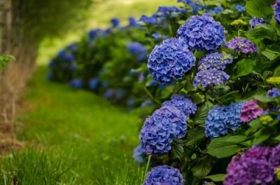 big blue hydrangea