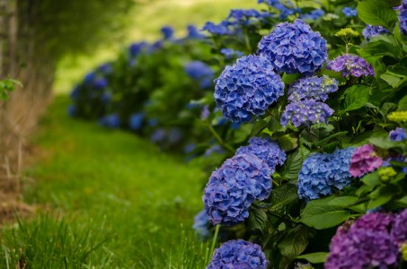 Blue hydrangea wedding