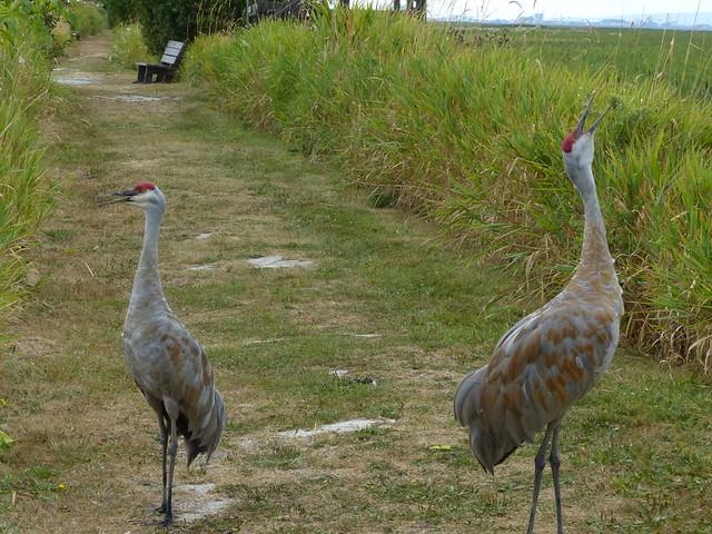 Crane Duet 3/5