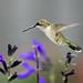 Hummingbird in the Garden_DSC0319