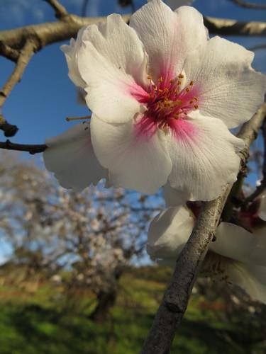 almond blossom detail