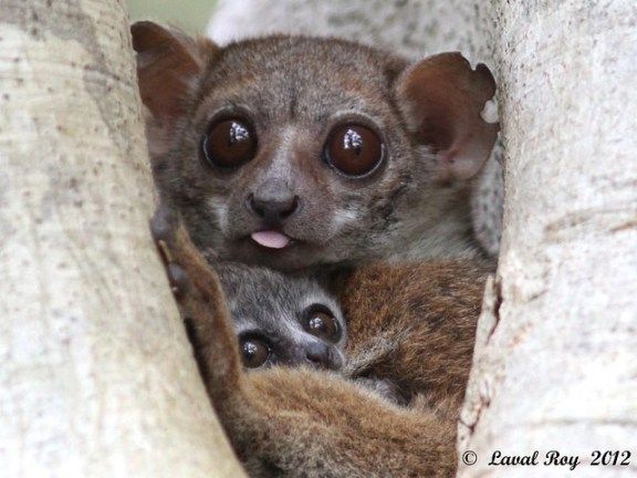 Lépilémur de Milne-Edwards (1894) / Lepilemur edwardsi / Milne-Edwards Sportive Lemur